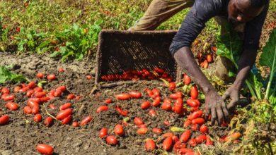 Photo of Caporalato: Coldiretti Salerno, le aziende agricole operano nella piena legalità